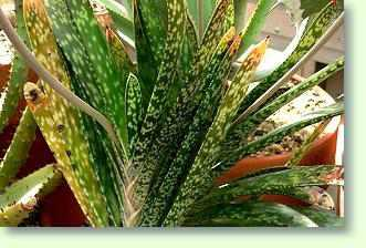 Zimmerpflanzen mit g pflanzenfreunde - Zimmerpflanze sonnig ...