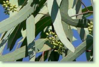 eukalyptus pflege pflanzenfreunde
