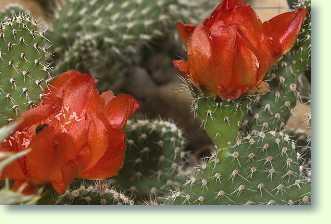 opuntia kaktus richtig pflegen. Black Bedroom Furniture Sets. Home Design Ideas
