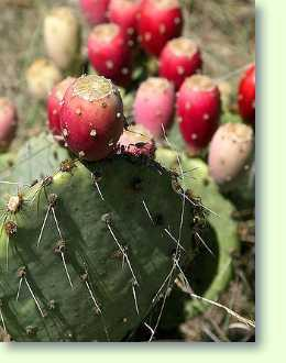 Opuntia Kaktus richtig pflegen - Pflanzenfreunde com