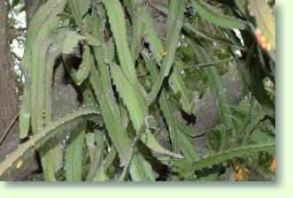 Pfeiffera erfolgreich pflegen pflanzenfreunde - Kaktus zimmerpflanze ...