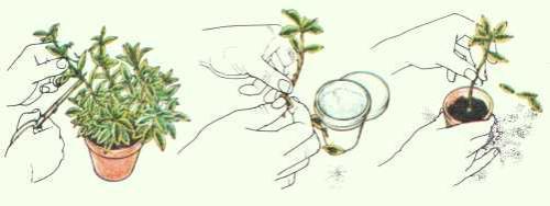 zimmerpflanzen mit stecklingen vermehren pflanzenfreunde. Black Bedroom Furniture Sets. Home Design Ideas