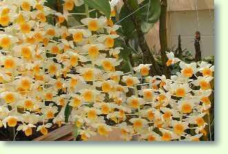 dendrobium thyrsiflorum orchideen im pflanzenlexikon zimmerpflanzen pflege. Black Bedroom Furniture Sets. Home Design Ideas