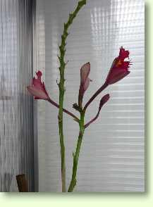 epidendrum radicans 39 ballerina 39 orchideen im pflanzenlexikon. Black Bedroom Furniture Sets. Home Design Ideas