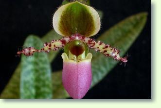 Frauenschuh orchidee pflege