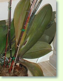 Phalaenopsis pflege pflanzenfreunde - Orchideen krankheiten bilder ...