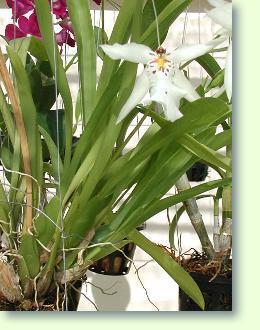 Anbieter Von Gartenorchideen Und Freilandorchideen