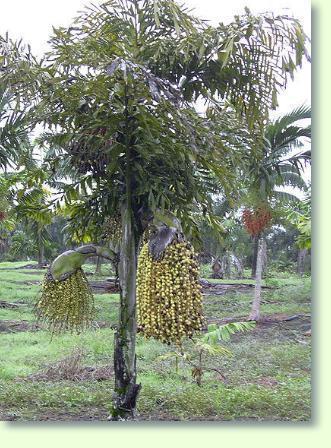Caryota Fischschwanzpalme Pflegen Pflanzenfreunde