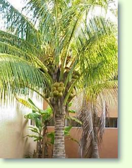 Zimmerpflanzen mit k pflanzenfreunde - Zimmerpflanze sonnig ...