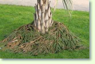 winterharte palmen im garten pflanzen - pflanzenfreunde, Gartenarbeit ideen
