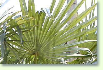 trachycarpus palme erfolgreich pflegen pflanzenfreunde. Black Bedroom Furniture Sets. Home Design Ideas