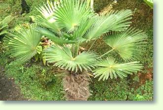Palme Für Drinnen trachycarpus palme erfolgreich pflegen pflanzenfreunde