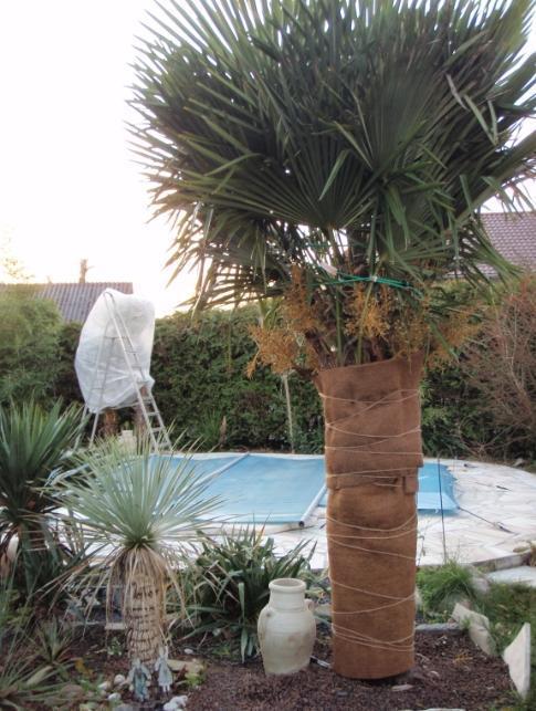 frostschutz f r palmen auf terrasse und balkon startseite design bilder. Black Bedroom Furniture Sets. Home Design Ideas