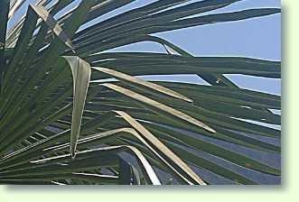 Chinesische Hanfpalme Trachycarpus Fortunei Pflanzenfreunde