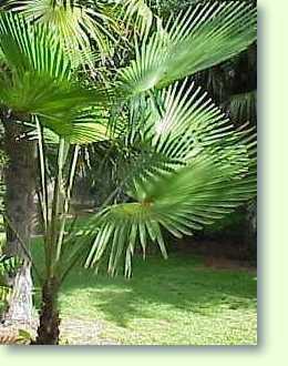 trachycarpus nanus yunnan zwergpalme pflanzenfreunde. Black Bedroom Furniture Sets. Home Design Ideas