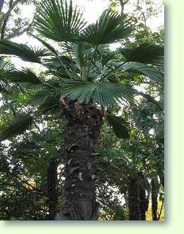 trachycarpus fortunei wagnerianus hanfpalme pflanzenfreunde. Black Bedroom Furniture Sets. Home Design Ideas
