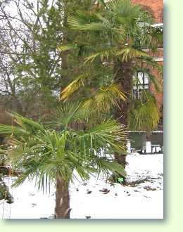 Die richtige palme f r den garten kaufen - Winterharte pflanzen fur den garten ...