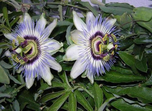 passionsblumen pflege - pflanzenfreunde, Garten und Bauten