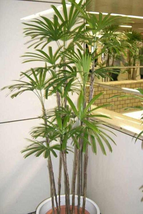 Rhapis Pflege Pflanzenfreunde