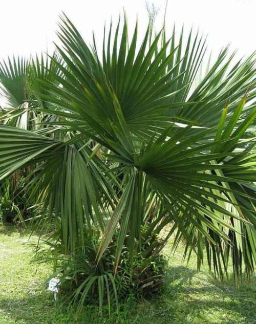 sabalpalme pflege pflanzenfreunde
