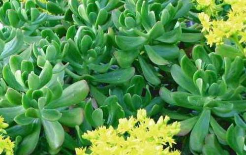 Sedum pachyphyllum Blätter wie Finger