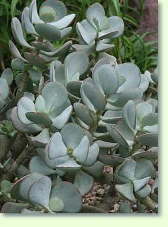 Gemischte Sorten Crassula 25 Samen Sukkulenten