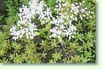 Roter Mauerpfeffer mauerpfeffer pflege pflanzenfreunde