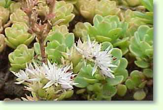 Mauerpfeffer Essbar mauerpfeffer pflege pflanzenfreunde