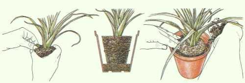 Zimmerpflanzen umtopfen anleitung pflanzenfreunde for Fliegen in der erde von zimmerpflanzen