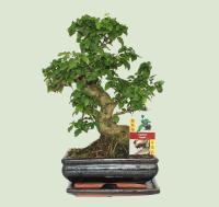palme zimmerpalmen pflanzenfreunde. Black Bedroom Furniture Sets. Home Design Ideas