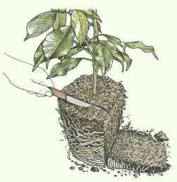 zimmerpflanzen umtopfen anleitung pflanzenfreunde. Black Bedroom Furniture Sets. Home Design Ideas