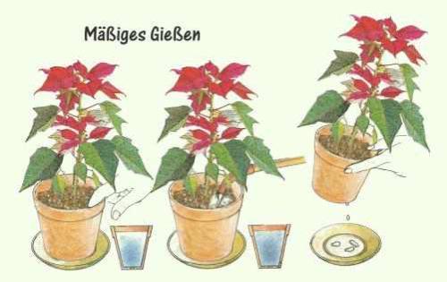 Weihnachtsstern Pflanzenfreunde