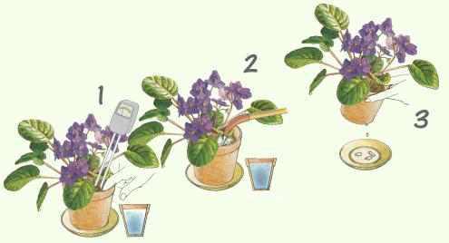 saintpaulia pflege von zimmerpflanzen pflanzenfreunde. Black Bedroom Furniture Sets. Home Design Ideas