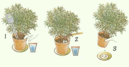 podocarpus pflege pflanzenfreunde. Black Bedroom Furniture Sets. Home Design Ideas