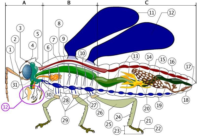 Insekten Anatomie