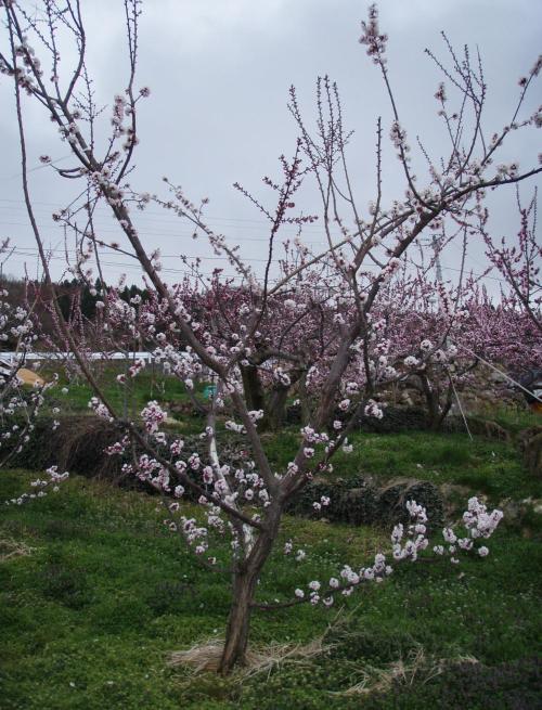 Aprikosenbaum Anbau Und Pflege Pflanzenfreunde