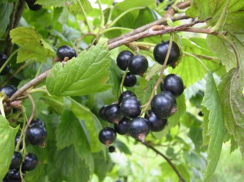 Beliebt Bevorzugt Johannisbeere - Anbau und Pflege - Pflanzenfreunde @DL_61