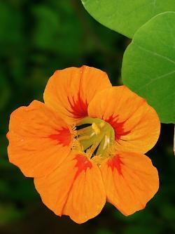 Kapuzinerkresse,Tropaeolum majus,frische Kresse f/ür die K/üche Kr/äuter Pflanze