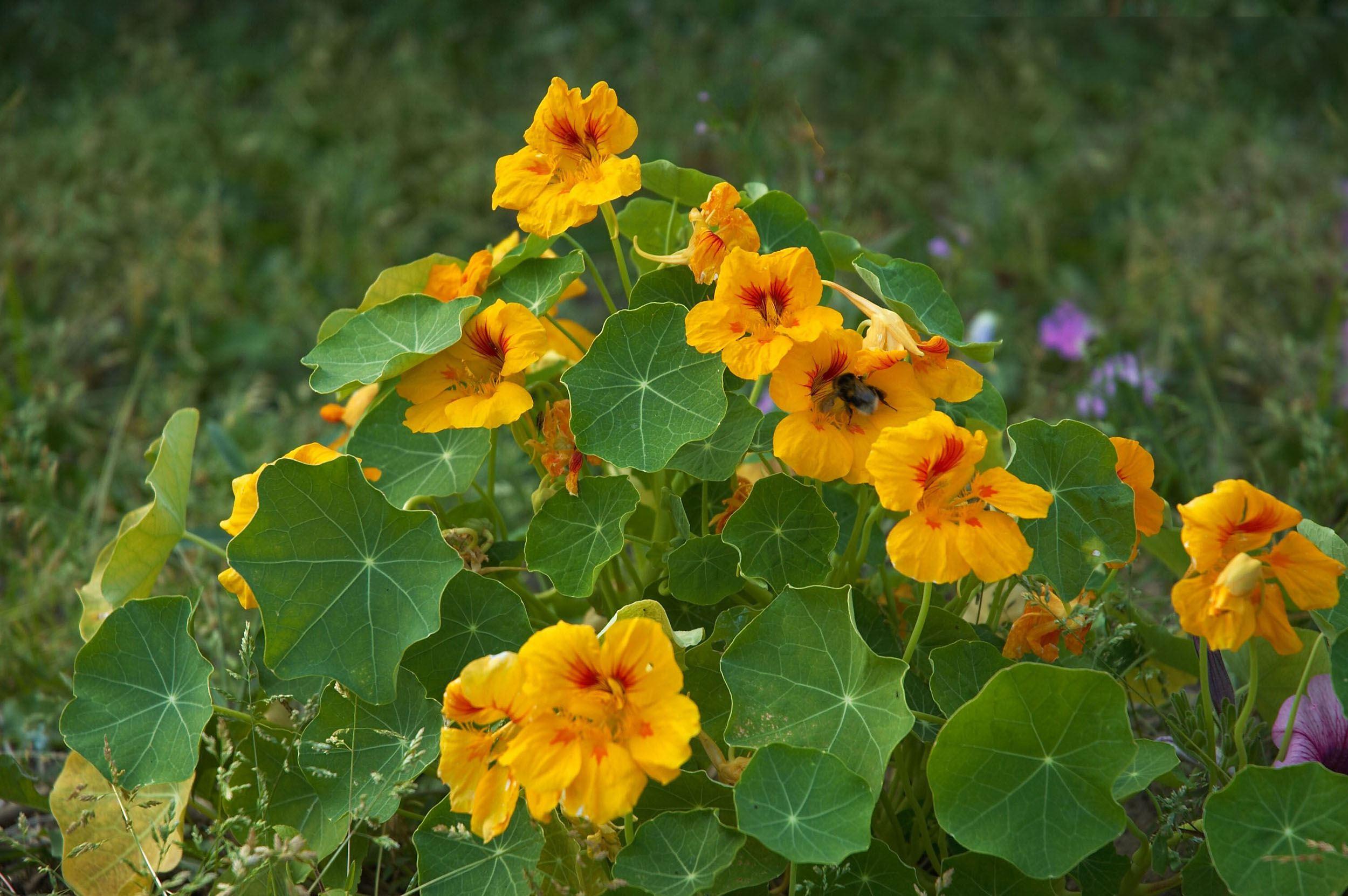 Kapuzinerkresse Pflanzen, Ernten, Trocknen & überwintern