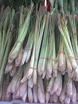 Ostindisches Zitronengras Cymbopogon flexuosus Gewürz Heilpflanze Kübelpflanze