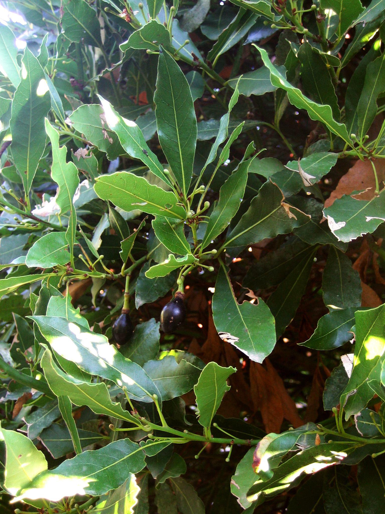 Lieblings Lorbeer - Anbau & Pflege, Ernte, Tee, Samen kaufen @WK_12