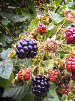 Beerenobst Vermehren Pflanzenfreunde