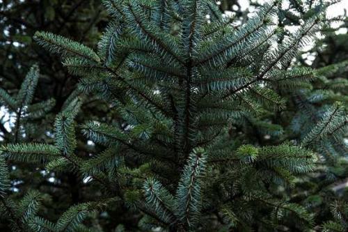 Ganz und zu Extrem Nadelbäume - Pflanzenfreunde &LM_67