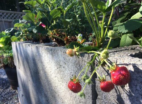 Beerenstraucher Und Erdbeeren Im Hochbeet Pflanzenfreunde