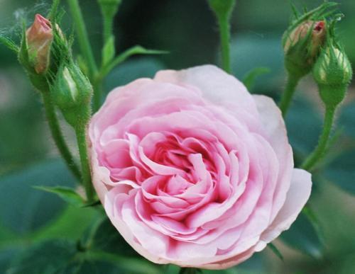 rosen alte sorten alte rosen sorten gela tempelmann von. Black Bedroom Furniture Sets. Home Design Ideas