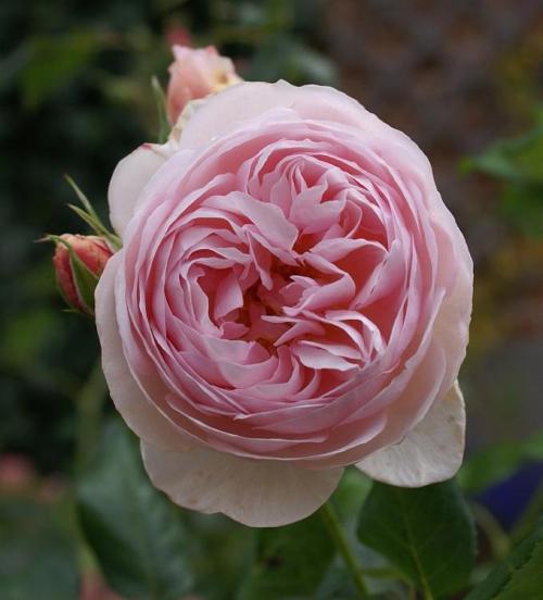 Etwas Neues genug Englische Rosen - Pflanzenfreunde @YQ_69