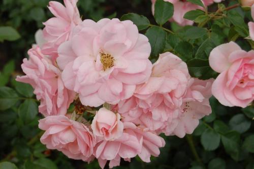 Bodendecker und kleinstrauchrosen pflanzenfreunde for Rosa kombinieren