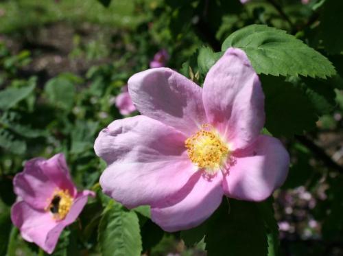 pflanzensuche rosen wildrose apfelrose rosa villosa pictures. Black Bedroom Furniture Sets. Home Design Ideas