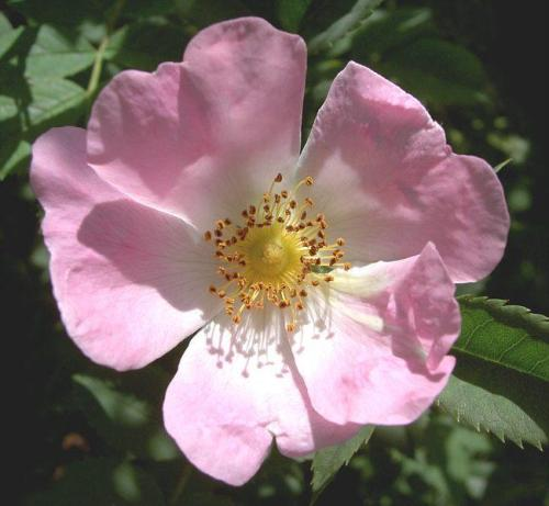 Beliebt Bevorzugt Rosen im Garten - Pflanzenfreunde @DK_21