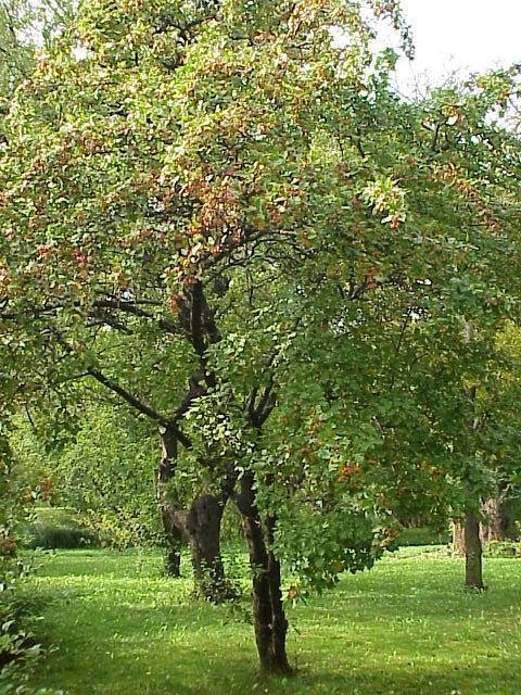 apfelbaum heilpflanzen heilkr uter. Black Bedroom Furniture Sets. Home Design Ideas